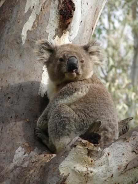 tours-koala-spotting-02