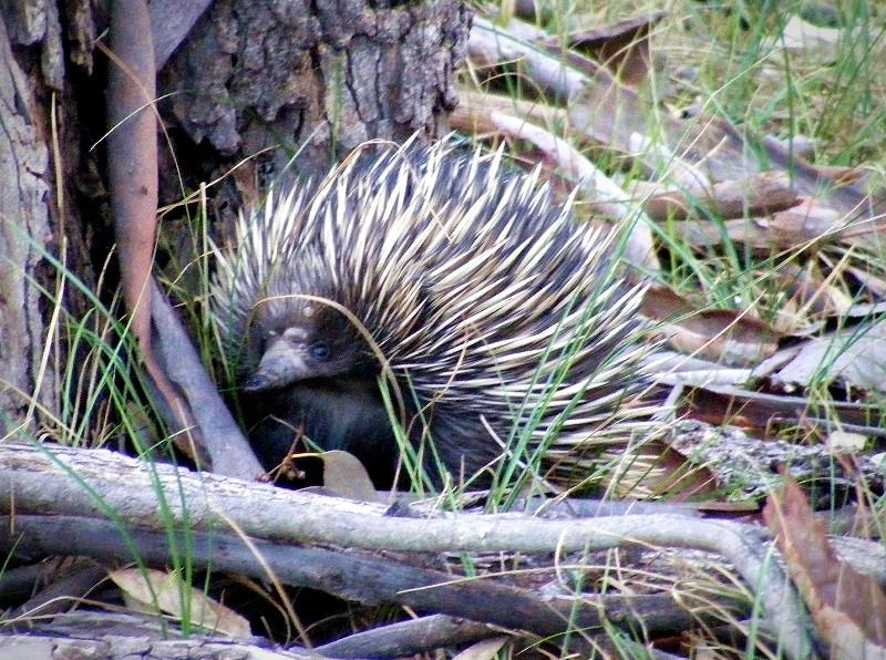 tours-koala-spotting-echidna