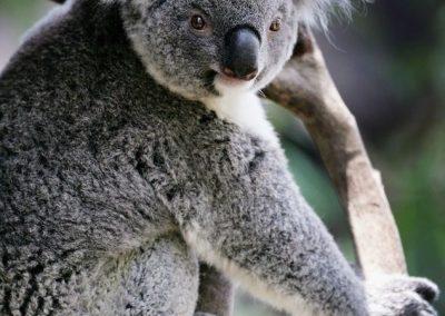 Koala Reserve