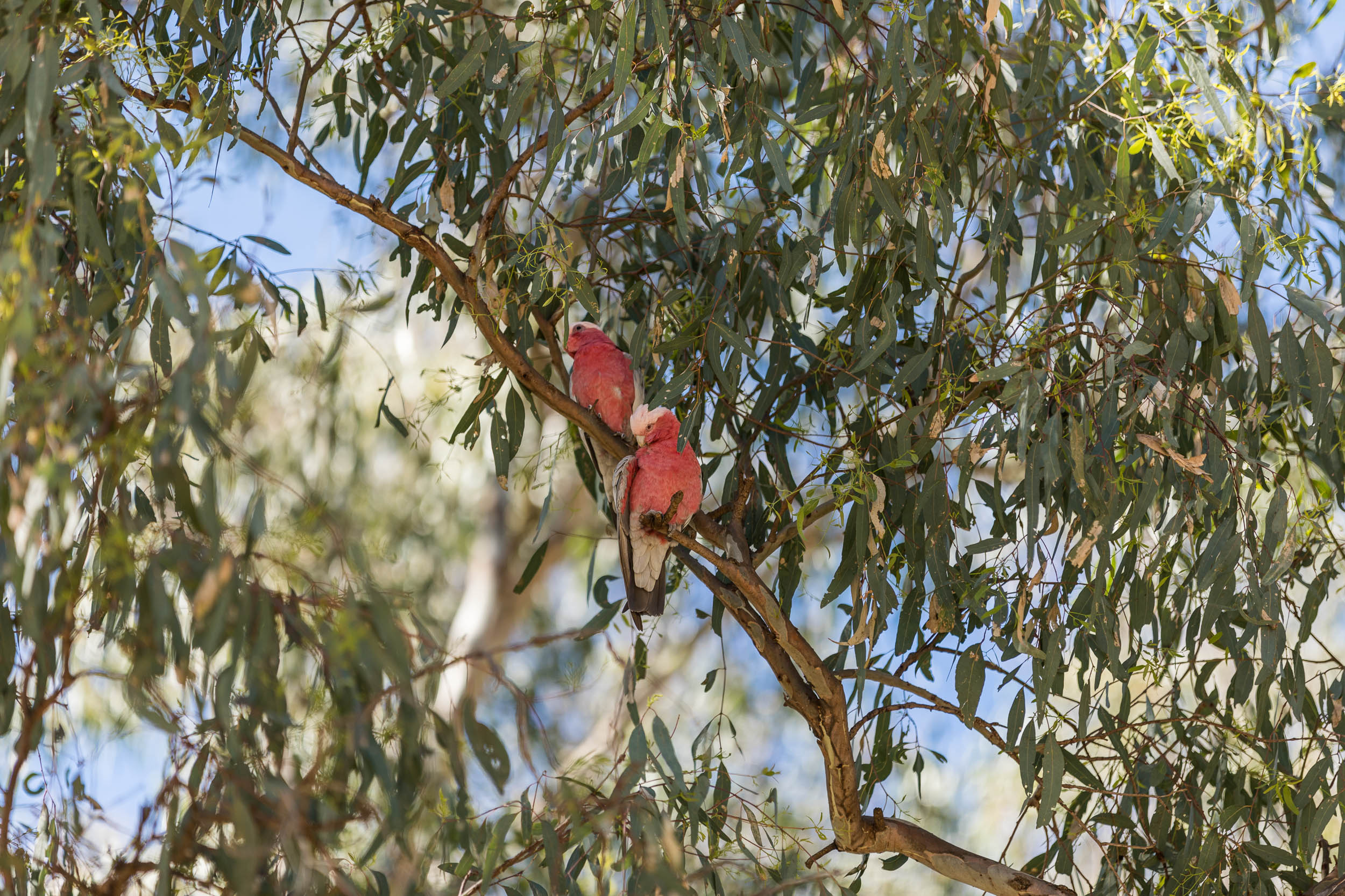 Galahs in the Narrandera Flor anad Fauna Reserve
